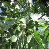 FIGUIER - FICUS CARICA - QUESTION 1718
