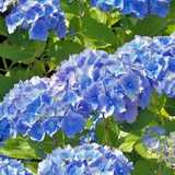 HORTENSIA - HYDRANGEA MACROPHYLLA - QUESTION 1719