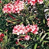 LAURIER-ROSE - NERIUM OLEANDER - QUESTION 1735