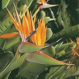 OISEAU DE PARADIS - STRELITZIA REGINAE - QUESTION 1724