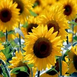 TOURNESOL - HELIANTHUS ANNUUS - QUESTION 1720