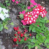 VERVEINE DES JARDINS - VERBENA X HYBRIDA - QUESTION 1715
